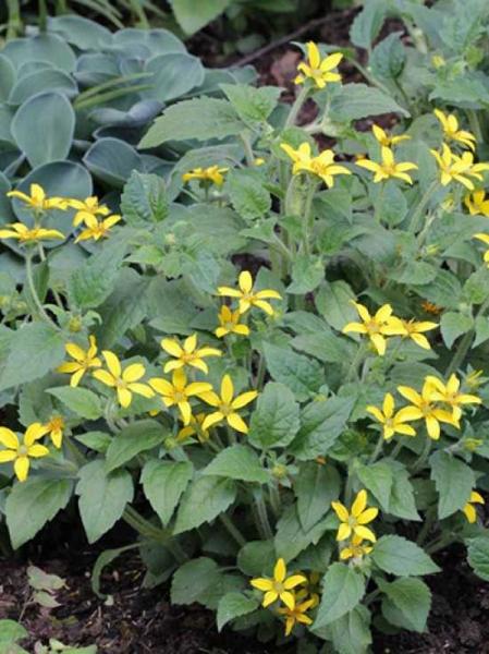 Chrysogonum virginianum 'Andre Viette' / Gold-Körbchen