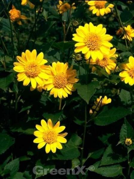 Helianthus decapetalus 'Capenoch Star' / Stauden-Sonnenblume