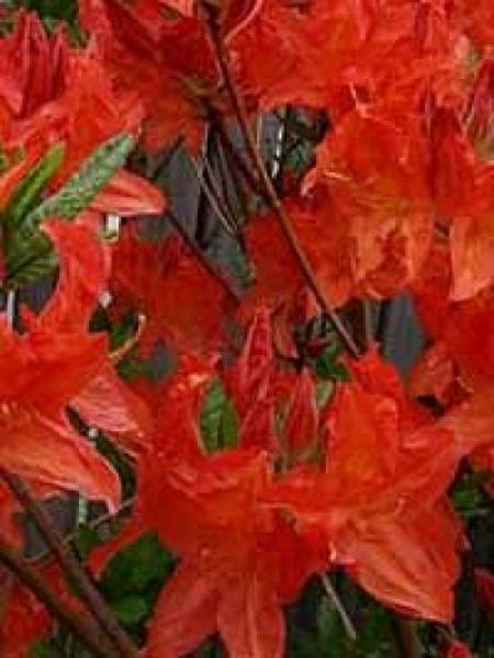 Azalea luteum 'Fireglow' (Knap-Hill) / Laubabwerfende Azalee 'Fireglow'