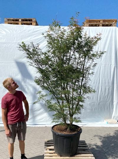 Acer palmatum 'Scolopendrifolium' / Japanischer Fächerahorn 250-300 cm (1220)