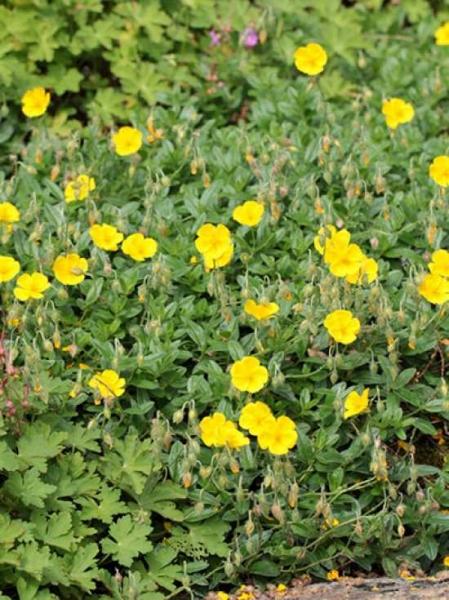 Helianthemum cultorum 'Sterntaler' / Garten-Sonnenröschen