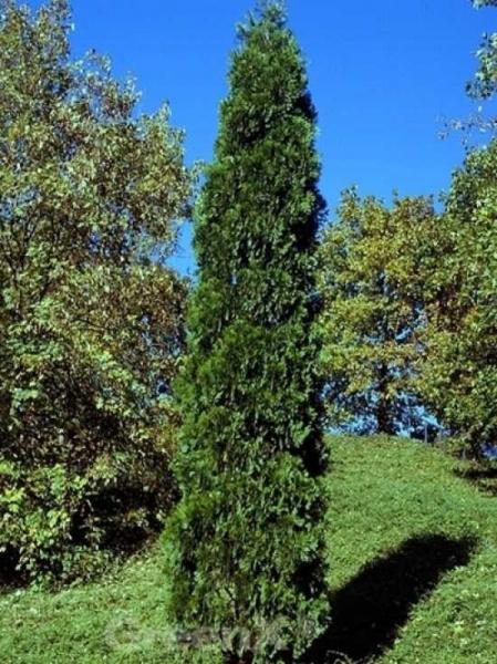 Calocedrus decurrens 'Pillar' / Weihrauchzeder 'Pillar'