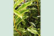 Prunus_Reynvaanii