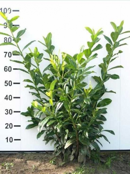 Prunus laurocerasus 'Novita' / Kirschlorbeer 'Novita' 80-100 cm mit Ballierung