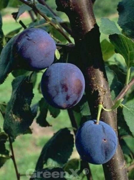 Prunus domestica 'Bühler Frühzwetschge' / Pflaume 'Bühler Frühzwetschge'