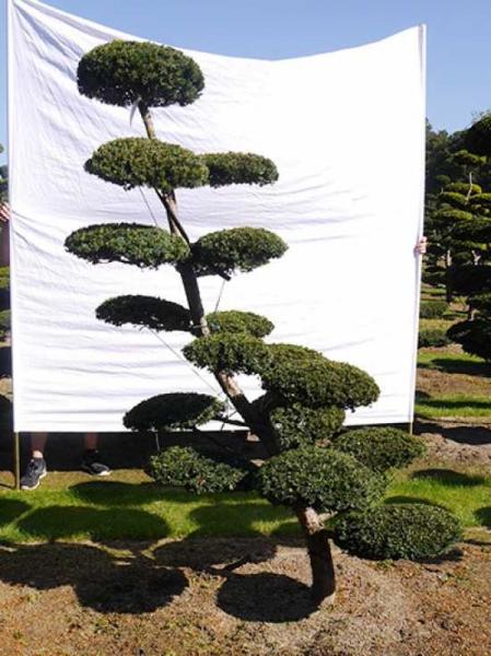 Taxus media 'Hillii' H: 220 cm B: 100 cm / Garten-Bonsai (0111)