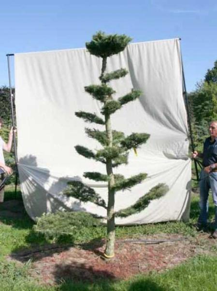 Larix decidua H: 280 cm B: 160 cm / Garten-Bonsai (801119)
