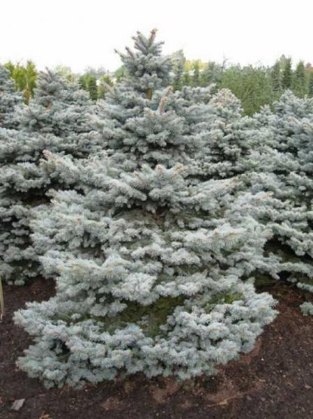 Picea pungens 'Montgomery' / Stech-Fichte 'Montgomery'