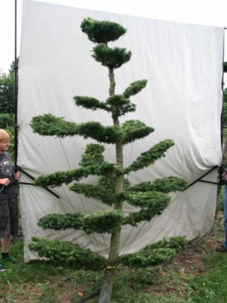 Larix decidua H: 280 cm B: 160 cm / Garten-Bonsai (801115)