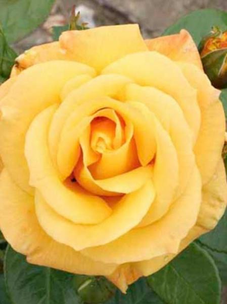 Rosa 'Arthur Bell ®' / Stammrose 'Arthur Bell'