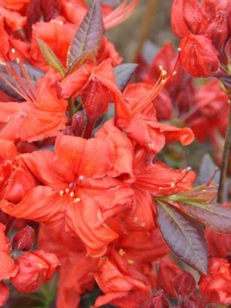 Azalea luteum 'Fireball' (Knap-Hill) / Laubabwerfende Azalee 'Fireball'