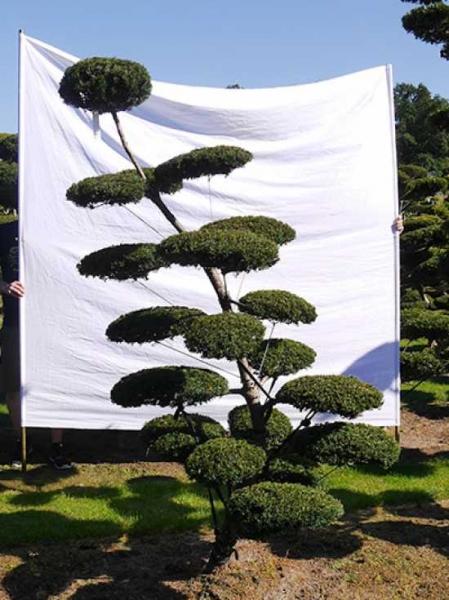Taxus baccata H: 230 cm B: 130 cm / Garten-Bonsai (0112)
