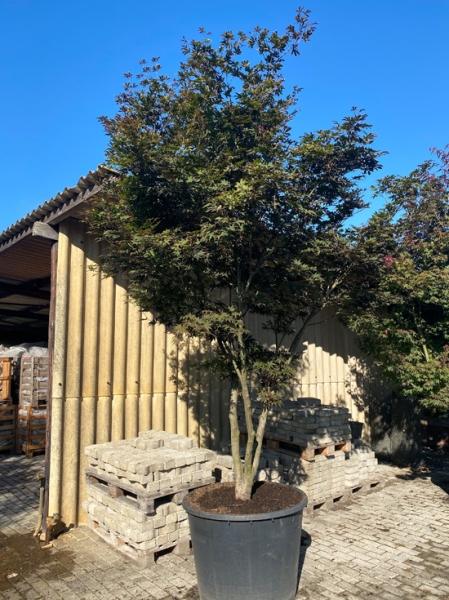 Acer palmatum 'Bloodgood' Schirm  / Japanischer Ahorn Schirm 200-250cm breit x 300-325cm hoch (Nr.456)