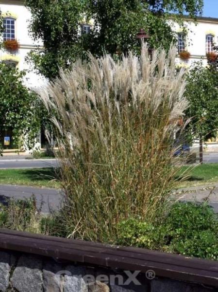 Miscanthus sinensis 'Silberspinne' / Chinaschilf 'Silberspinne'