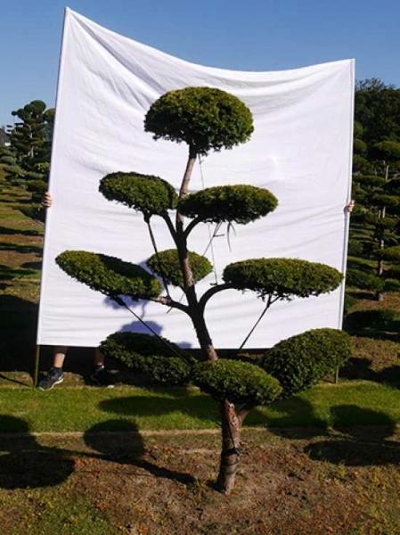 Taxus baccata 'Semperaurea' H: 210 cm B: 160 cm / Garten-Bonsai (0147)