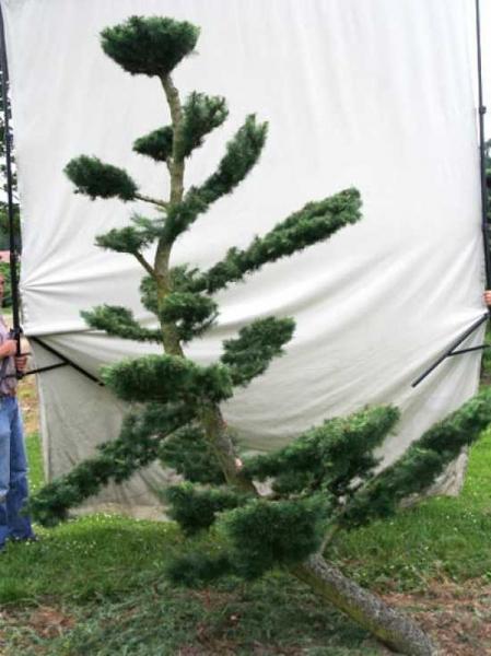 Larix decidua H: 290 cm B: 200 cm / Garten-Bonsai (801106)