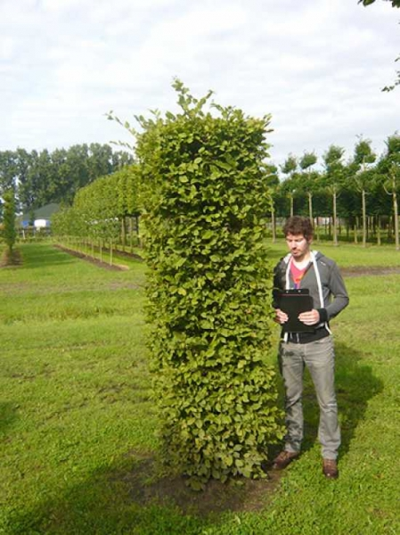 Carpinus betulus 'Säule eckig' 250x60x60 cm / Hainbuche 'Säule eckig' 250x60x60 cm
