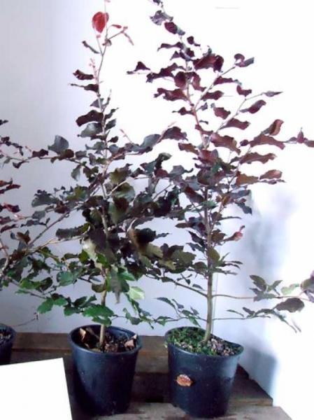 Fagus sylvatica 'Purpurea' / Blutbuche 80-100 cm im 2-Liter Container