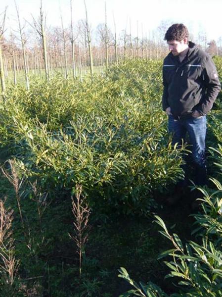 Prunus laurocerasus 'Zabeliana' / Kirschlorbeer 'Zabeliana' 80-100 cm mit Ballierung