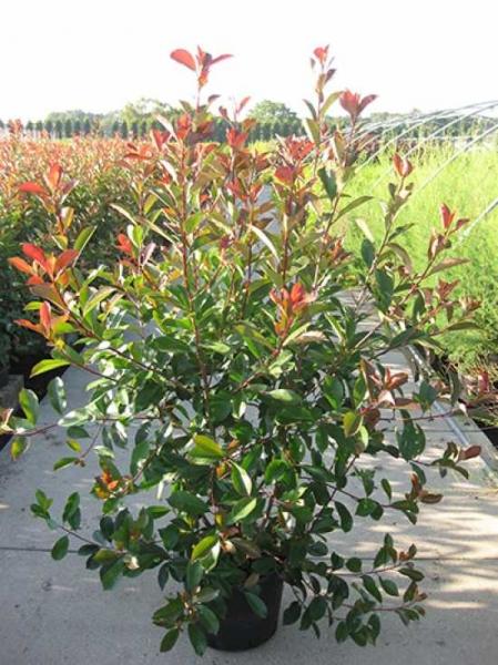 Photinia fraseri 'Red Robin' / Glanzmispel 125-150 cm im 35-Liter Container
