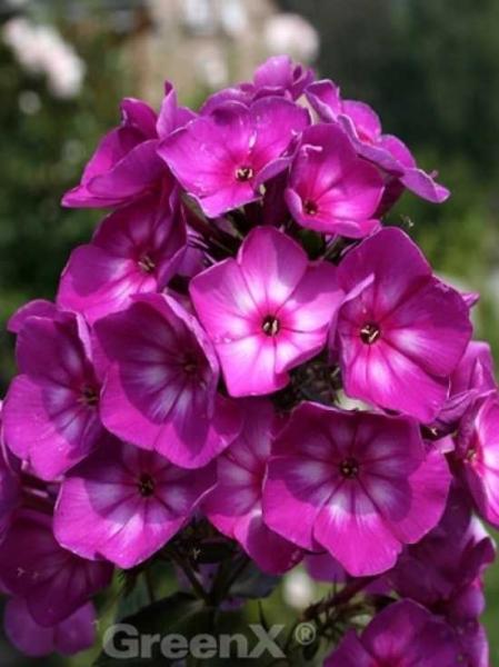 Phlox Paniculata Sweet Summer Surprise R Hohe Beet