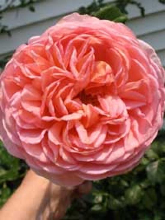 englische rosen g nstig in top baumschulqualit t kaufen baumschule new garden. Black Bedroom Furniture Sets. Home Design Ideas