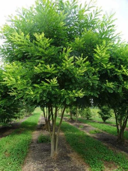Die Honigbäume von