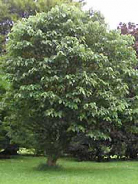 Broussonetia papyrifera / Papiermaulbeerbaum