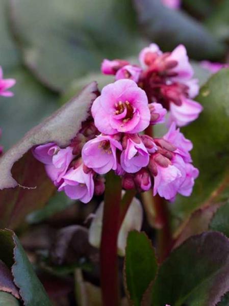 Bergenia cordifolia 'Spring Fling®' / Bergenie, Riesensteinbrech