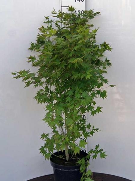 Acer palmatum 'Green Glory' / Japanischer Ahorn 'Green Glory'