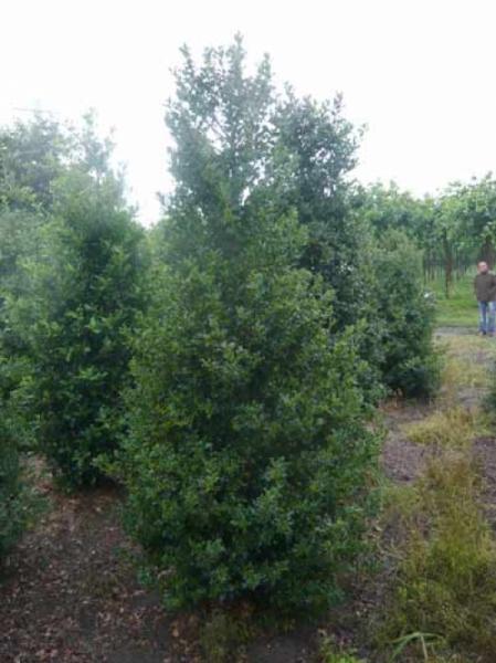 Ilex aquifolium 'Alaska' / Stechpalme 'Alaska' 250-300 cm Solitär mit Drahtballierung