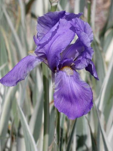 Iris pallida 'Argentea Variegata' / Weißgestreifte Schwertlilie