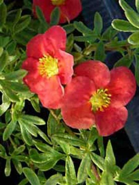 Potentilla fruticosa 'Red Robin ®' / Fünffingerstrauch 'Red Robin'