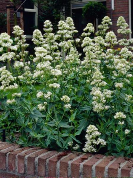 Centranthus ruber 'Albus' / Spornblume