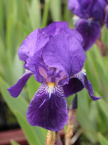 Iris barbata-media 'Alfred' / Mittelhohe Bart-Iris
