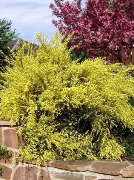 Cytisus praecox 'Allgold' / Elfenbein-Ginster 'Allgold'
