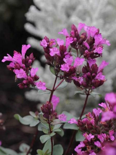 Origanum laevigatum 'Purple Charm' / Blüten-Dost 'Purple Charm'