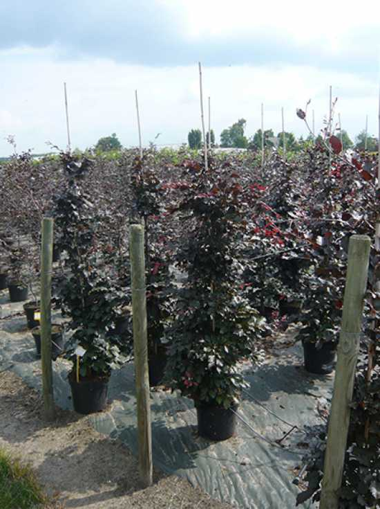fagus sylvatica 39 purpurea 39 blutbuche 200 225 cm im 12 liter container g nstig kaufen. Black Bedroom Furniture Sets. Home Design Ideas