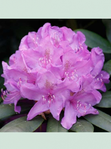 Rhododendron catawbiense 'Boursault' / Rhododendron 'Boursault'