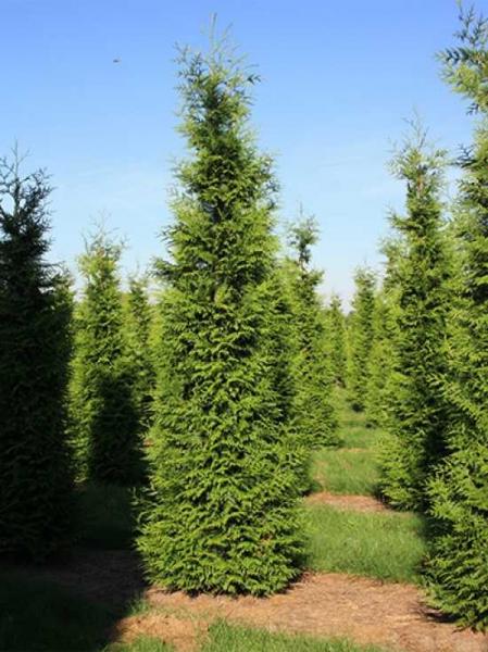 Thuja plicata 'Atrovirens' / Lebensbaum 'Atrovirens' 350-400 cm Solitär  mit Drahtballierung