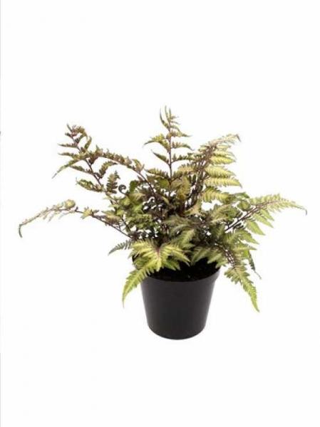 Athyrium niponicum 'Metallicum' / Japanischer Regenbogenfarn / Brokat-Farn