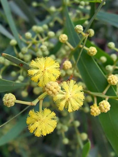 Acacia retinodes 'Lisette' / Immerblühende Akazie 'Lisette'