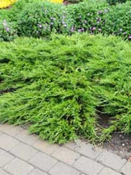 Juniperus sabina 'Buffalo' / Kriechwacholder 'Buffalo' / Sadebaum 'Buffalo'