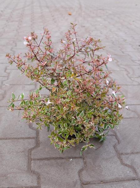 Abelia grandiflora 'Conti' / Großblumige Abelie 'Conti'