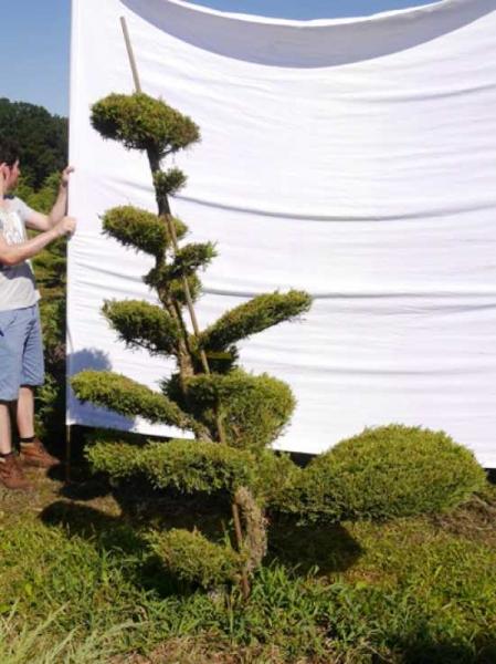 Juniperus media 'Hetzii' H: 200 cm B: 140 cm / Garten-Bonsai (301564)