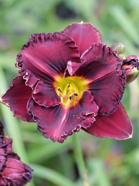 Hemerocallis cultorum 'Black Stockings' / Taglilie 'Black Stockings'