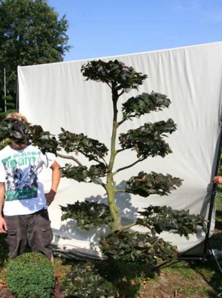 Fagus sylvatica 'Purpurea' H: 210 cm B: 120 cm / Garten-Bonsai (701104)