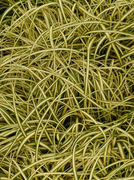 Carex hachijoensis 'Evergold' / Japan-Gold-Segge
