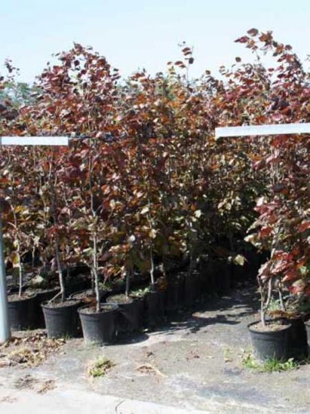 Fagus sylvatica 'Purpurea' / Blutbuche 150-175 cm im 5-Liter Container
