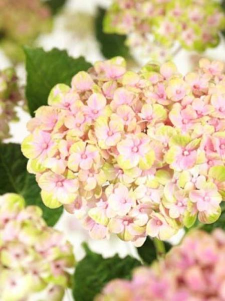 Hydrangea macrophylla 'Magical Coral'® / Bauern-Hortensie 'Magical Coral'®